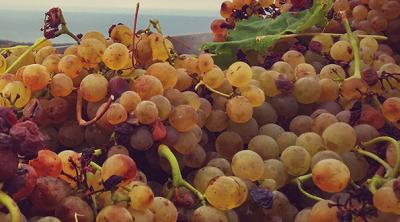 The wine that loves the sea: Vermentino